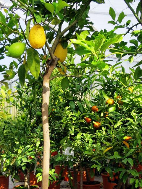 Piante da giardino orto frutto types naldini piante - Piante da frutto in giardino ...